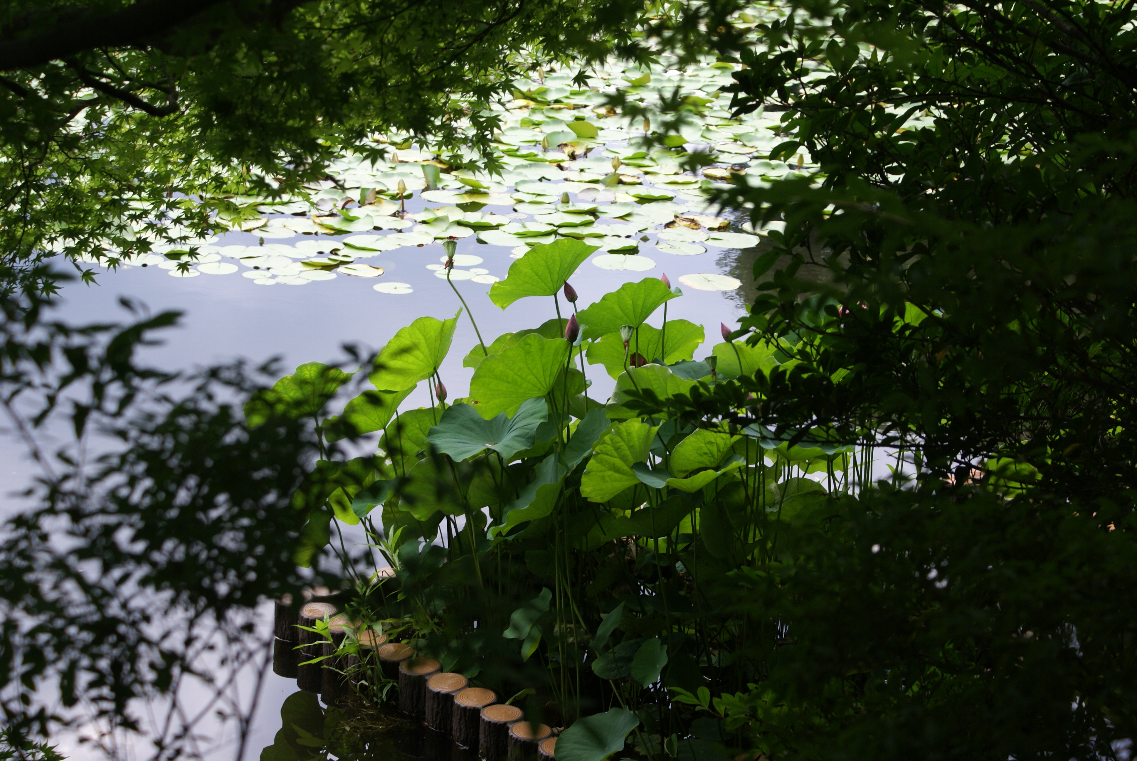 Kinkaku-ji temple garden lotus