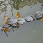 Small turtles in Kaohsiung